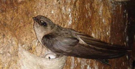 tình hình nuôi chim yến