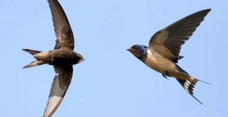 chim yến và chim én